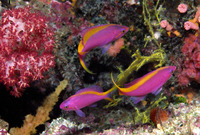 : Pseudanthias tuka; Yellowstriped Fairy Basslet;