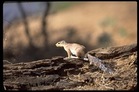 : Xerus rutilus; African Ground Squirrel
