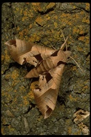 : Eumorpha achemon; Hawk Moth, Achemon Sphinx