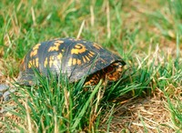 : Terrapene carolina carolina; Eastern Box Turtle