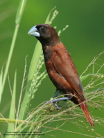 Chesnut Munia Scientific name: Lonchura malacca