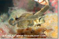 ...Image 07895, Sailfin sculpin., Nautichthys oculofasciatus, Phillip Colla, all rights reserved wo