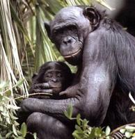 photograph of a bonobo and her infant