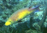 Bodianus rufus, Spanish hogfish: fisheries, aquarium