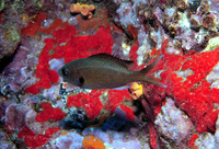 Chromis multilineata, Brown chromis: fisheries, aquarium