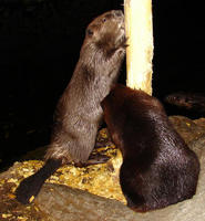 Image of: Castor canadensis (American beaver)