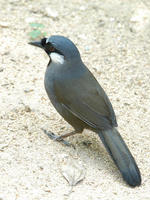 Image of: Garrulax chinensis (black-throated laughing-thrush)