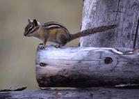 Tamias amoenus - Yellow-pine Chipmunk