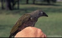 Scaly-throated Honeyguide - Indicator variegatus