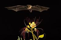 ...Lesser Long-nosed Bat ( Leptonycteris curasoae ) Endangered species Mesquite Branch ( Prosopis p