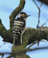 Lesser-spotted Woodpecker   Dendrocopos minor