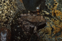 : Rana boylii; Foothill Yellow-legged Frog