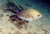 Chromis chromis, Damselfish: fisheries, gamefish