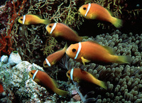 Amphiprion nigripes, Maldive anemonefish: aquarium