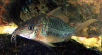 Brochis splendens, Emerald catfish: aquarium