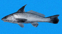 Menticirrhus nasus, Highfin king croaker: fisheries