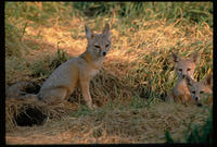 Image of: Vulpes macrotis (kit fox)