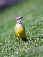 Image of: Machetornis rixosa (cattle tyrant)