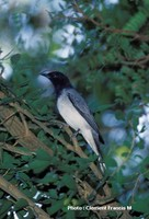 Black-headed Cuckooshrike - Coracina melanoptera