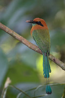 Broad-billed Motmot (Electron platyrhynchum) photo