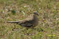 Picui Ground-Dove - Columbina picui