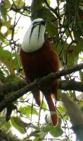 Three-wattled Bellbird (Procnias tricarunculata)