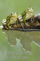 Edible frogs ( Rana esculenta ) with reflection stock photo