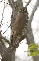 Brown hawk owl C20D 03890.jpg