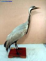 쇠재두루미 Anthropoides virgo Demoiselle Crane