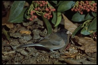 : Junco hyemalis; Dark-eyed (Oregon) Junco
