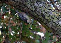 : Sitta carolinensis; White-breasted Nuthatch