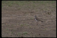 : Vanellus melanopterus ssp. minor; Greater Black-winged Lapwing