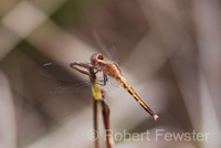 : Erythrodiplax minuscula; Little Blue Dragonlet