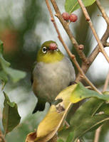 Chestnut-flanked White-eye » Zosterops erythropleurus