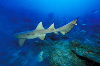 Ginglymostoma cirratum, Nurse shark: fisheries, aquarium