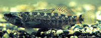 Etheostoma asprigene, Mud darter: