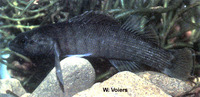 Etheostoma wapiti, Boulder darter: