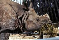 Image of: Rhinoceros (Asian one-horned rhinoceroses)