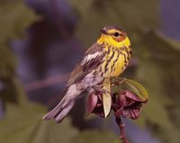 Dendroica tigrina - Cape May Warbler