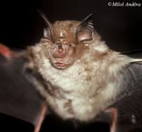 Rhinolophus ferrumequinum - Greater Horseshoe Bat