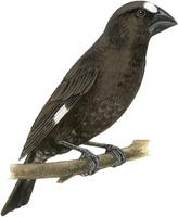 Image of: Amblyospiza albifrons (grosbeak weaver)