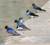 Image of: Tachycineta leucorrhoa (white-rumped swallow)