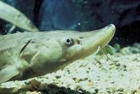 Image of: Acipenser brevirostrum (shortnose sturgeon)