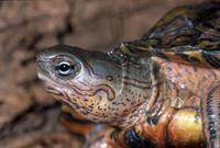 Image of: Rhinoclemmys pulcherrima (Central American wood turtle)