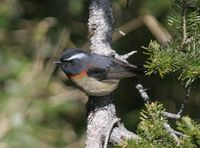 Collared Bush Robin - Tarsiger johnstoniae