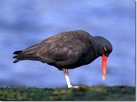 Blackish Oystercatcher - Haematopus ater