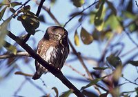 Northern Pygmy-Owl - Glaucidium californicum