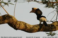 Black-and-white-casqued Hornbill - Ceratogymna subcylindricus