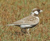 Gray-backed Sparrow-Lark - Eremopterix verticalis