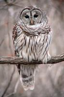 Barred Owl (2) at Reelfoot Lake, TN (12-17-05).jpg